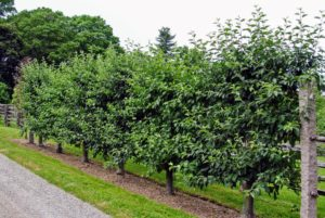 The tour also took the group past the beautiful Malus 'Gravenstein' espalier apple trees. There were lots of small fruits for everyone to see. I love these crisp and juicy apples, which are great for eating, cooking and baking.