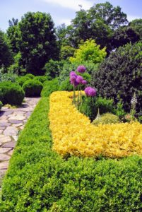 Here, on the upper terrace parterre - vibrant barberry and boxwood, with purple Alliums. Allium species are herbaceous perennials with flowers produced on scapes. They grow from solitary or clustered bulbs.