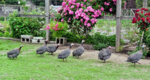 The students saw several of my Guinea fowl - they eat insects and seeds, including ants, flies, and ticks. They are quite loud, but very interesting to look at with their featherless heads and polka-dotted feathers. Native to Africa, guinea fowl are known for traveling in large, gregarious flocks.