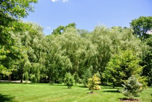 Ryan pointed out my grove of weeping willows at one end of my pinetum. Weeping willow, Salix babylonica, is a medium to large sized tree, with alternate and spirally arranged, narrow light green leaves.