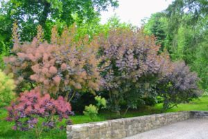 Cotinus, commonly known as smoke tree or smoke bush, is an upright, loose spreading shrub with leaves that are deciduous, and oval-shaped. The smooth, rounded leaves come in shades of yellow, deep purple, green and pinkish bronze.