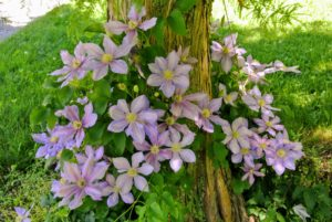 Planted at the foot of each bald cypress is a clematis vine - all of my clematis are blooming beautifully.