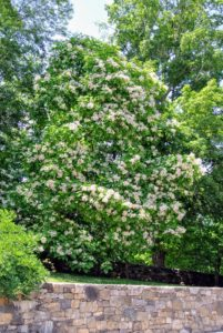 The group loved seeing the Catalpa trees. Catalpa trees are 40- to 70-foot tall trees with arching canopies. The leaves are arrow-shaped and glossy bright green. Flowers appear in spring and last into early summer.
