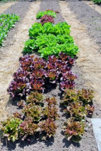 Lettuce, Lactuca sativa, is a cultivated plant of the daisy family, Asteraceae. Lettuce is a fairly hardy, cool-weather vegetable that thrives when the average daily temperature is between 60 and 70-degrees Fahrenheit. I love all the different colored lettuces.