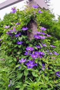 Steel wire is wrapped around each post, so the climbing tendrils of the clematis vines could attach easily.