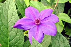 Be careful not to overwater clematis as it does not like standing water or wet feet.