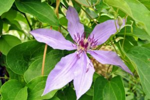 This is Clematis 'Blue Ravine' - brilliantly colored soft violet blooms with leathery-textured foliage.