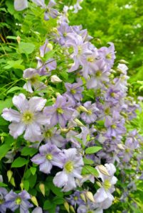 """Known as the """"Queen of the Climbers"""", Clematis plants will train onto trellises and fences, or arch gracefully over doorways."""