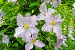 Clematis 'Blue Angel' is a large-flowered variety with four to six-inch blooms. The flowers have ruffled edges and yellow green stamens.