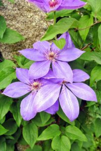 Clematis 'Parisienne' has large flowers that are light violet-blue with overlapping petals. They appear extravagantly in early summer and then repeat later in the season.