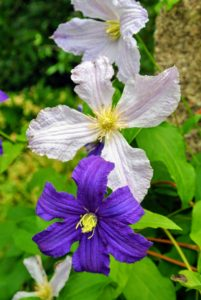 The roots of clematis should be kept shaded to keep them cool and moist. This can be done using low growing plants or with two to three inches of mulch around the base of the plant to help retain the soil moisture. On this post, Clematis 'Blue Angel' is growing alongside a vivid violet-purple Clematis 'Jackmanii'.