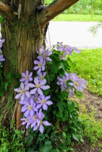Across from my undulating pergola, at the base of my bald cypress trees, we've planted more clematis.