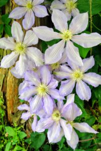 Every year, these clematis vines look more and more beautiful. If you don't already have clematis in your garden, I hope this inspires you plant one or two or three...