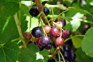 A well established black currant bush can produce up to 10-pounds of berries per year.
