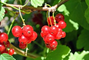 The fruits grow in clusters called racemes, and are very easy to pick. The best time to harvest red currants is when the fruits are firm and juicy.