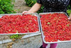 These trays of currants will be taken to my flower room, de-stemmed and then frozen until I can make them into wonderful jams and jellies.