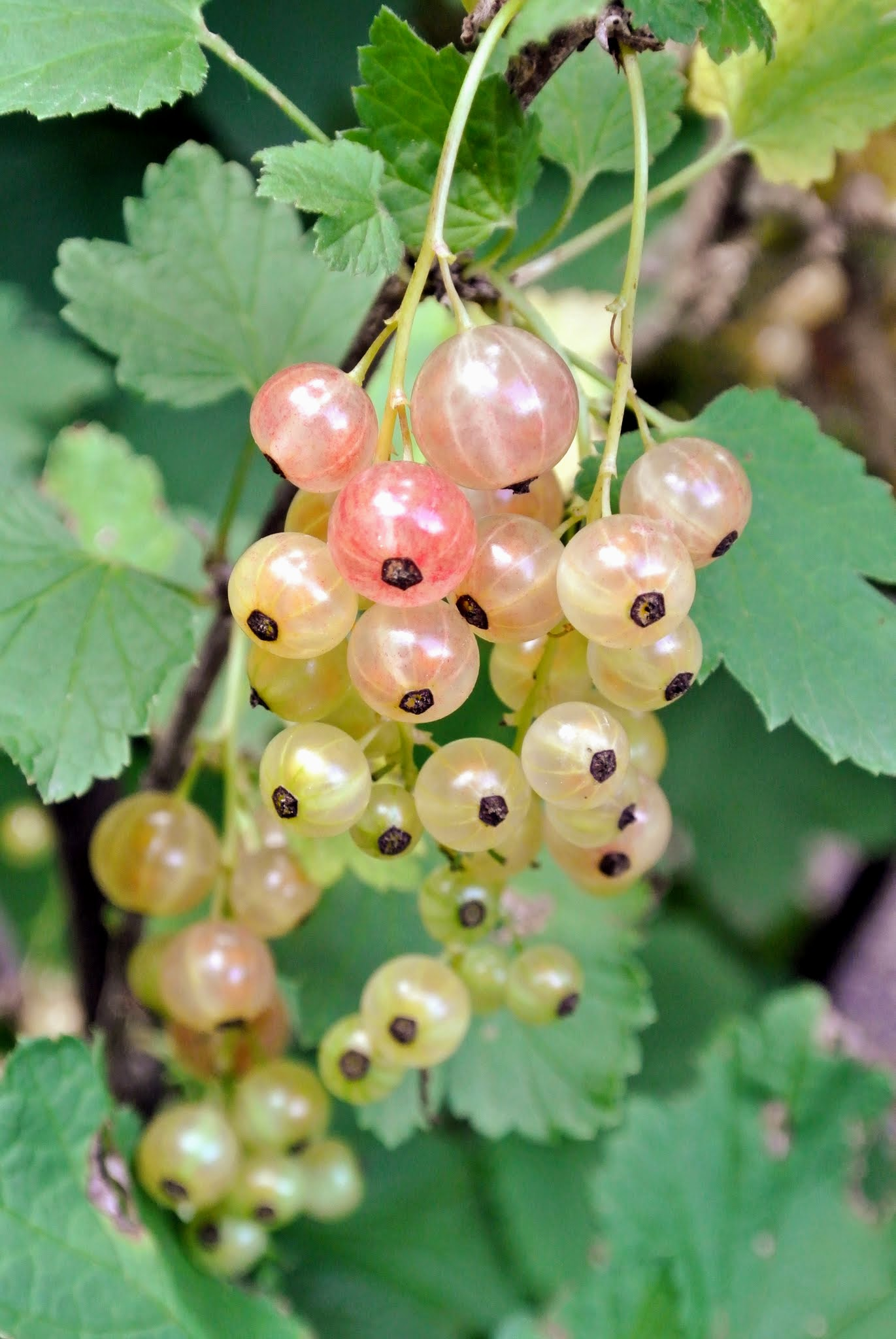 The Martha Stewart Blog : Blog Archive : Picking Currants