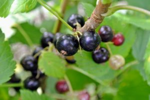 Black currants can grow well on sandy or heavy and loamy soil as long as their nutrient requirements are met. They prefer damp, fertile ground, but not waterlogged.