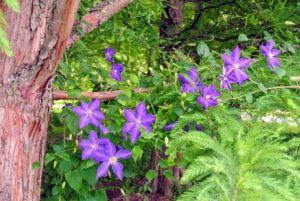 Most clematis have a light weight structure and can grow atop or through other plants without harm. This one has already grown along this branch.