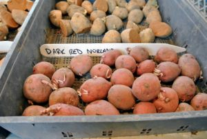 These Dark Red Norland potatoes are loved for their richer red skin color. These are round to oblong tubers with white flesh. They store well, and are excellent for roasting and boiling.