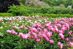 If the soil is well-conditioned, fertilizer is not necessary. If needed, give a balanced perennial fertilizer. Peonies love potassium. It is essential for stem strength, but also helps promote strong flower production.