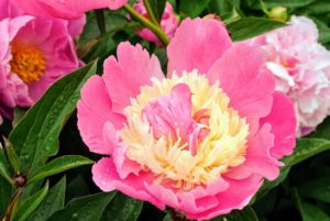 'Beautiful Señorita', a Japanese variety, has a double row of deep, pink guard petals and a creamy center. If you're new to the world of peonies, refer to the Peonies 101 story on our web site. http://www.marthastewart.com/271024/peonies-101