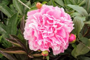 Peonies usually bloom quite easily. Be sure to always plant the eyes, the points at which new growth emerges, no more than two-inches deep. Also be sure the plants get at least six hours of full sun per day.