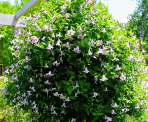 It typically grows to six-feet tall and features single, nodding, pale lilac flowers with recurved tips. 'Betty Corning' was first discovered growing in Albany, New York in 1932.