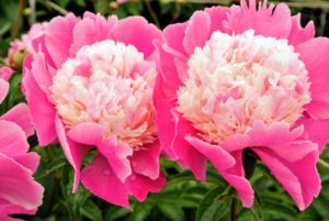 The peony's fragrance can vary, but most have sweet, clean scents. And, do you know... pink peonies tend to have stronger fragrances than red peonies? Double form white peonies are also very aromatic.