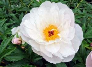 'Star Power' has pure white, large blossoms with bold round guard petals and red tipped stigmas.