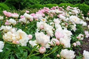 Peonies are considered northern flowers - they tolerate, and even prefer, cold winter temperatures. They are hardy in zones 3 through 8 and need more than 400-hours of temperatures below 40-degrees Fahrenheit annually to break dormancy and bloom properly.