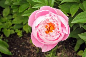 Both herbaceous and tree peonies need full sun, rich soil and consistent moisture in order to perform their best.