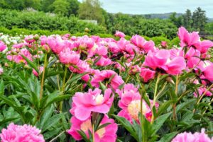 In early June, the beds are overflowing with beautiful peony blooms. Herbaceous peonies grow two to four feet tall with sturdy stems and blooms that can reach up to 10-inches wide. Plants should be spaced about three to four feet apart and away from competing roots.