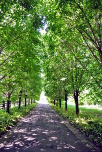 Here is the Linden Tree Allee. The Linden is one of three English names for the tree genus Tilia - also known as lime and basswood. Linden trees have loose canopies that produce shade on the ground below.