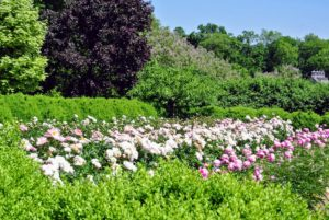 Peonies are perennial plants with compound, deeply lobed leaves and large, fragrant flowers ranging from white or yellow to red. My peony garden includes 11-rows of peonies, with two varieties in each row.