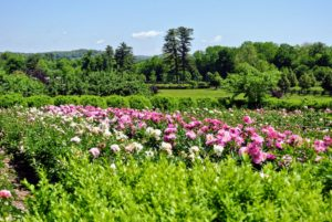The herbaceous peony bed is glistening with bright pink and white blooms - we see more and more open every day.