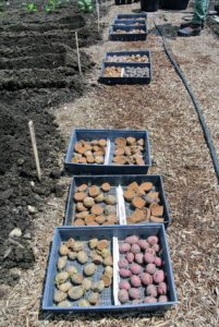 All the potatoes are laid out in front of the beds in which they'll be planted.