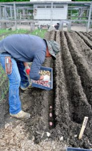 Wilmer starts placing the potatoes in the trenches. Each trench should be about four-inches deep. Potatoes perform best in soil with pH levels 4.8 to 5.5. Potatoes are easy to grow as long as they have access to full sun and moderate temperatures.