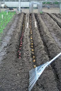 Once the potatoes have been properly covered remember to place a marker at the end of the trench identifying what was planted where.