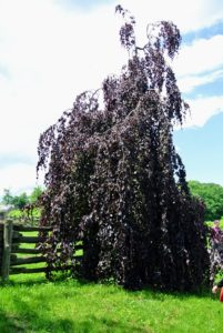 At one end of the Boxwood Allee is this beautiful weeping copper beech, Fagus sylvatica 'Purpurea Pendular', an irregular spreading tree with long, weeping branches that reach the ground.