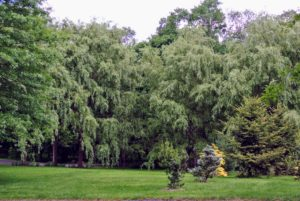 Ryan pointed out my grove of weeping willows at one end of my pinetum.