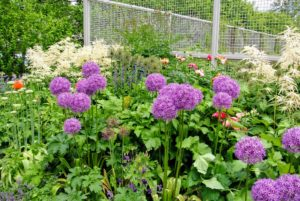The beautiful Allium - I have so many in bloom along the clematis pergola and right here outside my flower cutting garden. Allium species are herbaceous perennials with flowers produced on scapes. They grow from solitary or clustered bulbs.