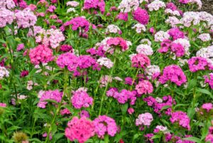 There are numerous types of dianthus – most have pink, red, or white flowers with notched petals.