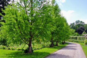 Across from the pergola, is a row of bald cypress, or Taxodium distichum, is a deciduous conifer. It is a large tree with gray-brown to red-brown bark. It is popular as an ornamental tree grown for its light, feathery foliage.
