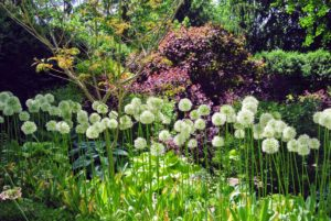At the back of the garden is this row of beautiful white allium.