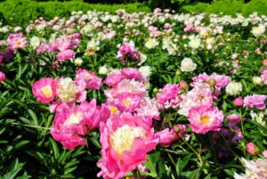 The only disadvantage of peonies is that each field yields one crop of cut flowers for a couple of weeks only once a year, and then that's it - until the next season, when they bloom with splendor once again.
