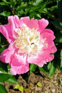 Peonies make wonderful sentinels in the garden, or lined on walkways. After the bloom fades, its bushy clump of glossy, green leaves lasts the rest of summer.