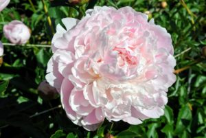 'Reine Supreme' has pink double flowers with double rows of guard petals and sturdy stems.
