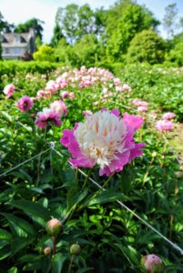 My plan was always to plant a lot of peonies in one large garden bed - I've been so pleased with its growth and stunning displays of color.