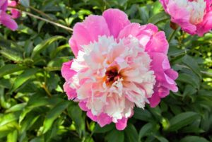 Peonies are easy to maintain - for the most part, they are disease resistant and they do not require any pesticides. They do, however, take some time to get established, so be patient.